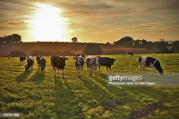 Long shadowed Holsteins