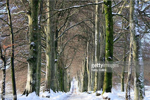 long, snowy tree-lined avenue of beech trees - crieff stock pictures, royalty-free photos & images