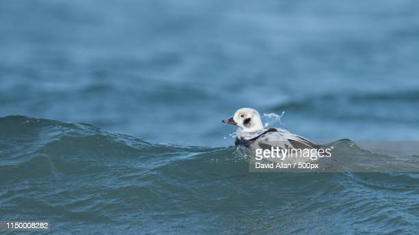 long tailed duck in the waves - contea di prince edward ontario foto e immagini stock
