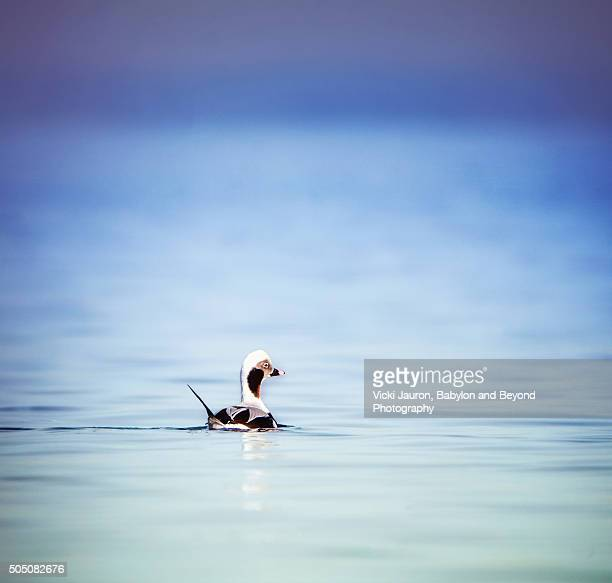 long tailed duck on calm blue water at caumsett state park - huntington suffolk county new york state stock pictures, royalty-free photos & images