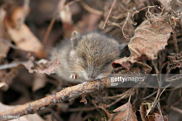 Long Tailed Field Mouse Young LongTailed Field Mouse Picardy France