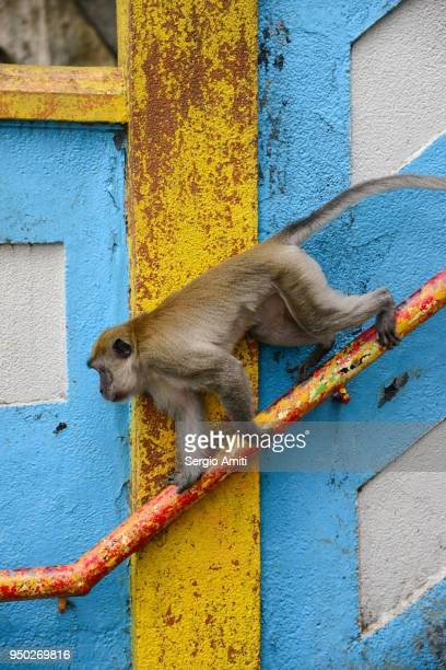 A long tailed macaque at Batu caves