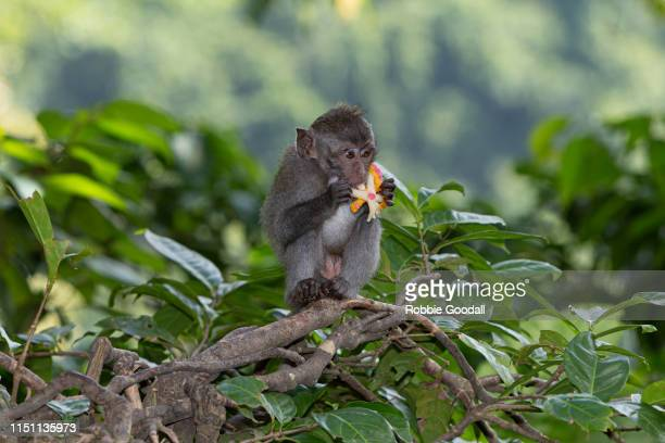 long tailed macaque - funny monkeys stock pictures, royalty-free photos & images