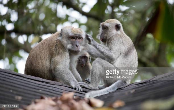 Long tailed macaques.