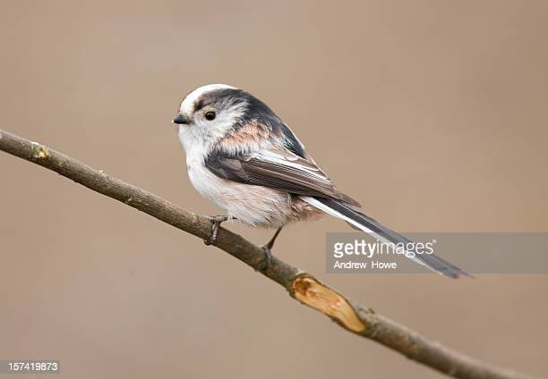 long tailed tit (aegithalos caudatus) - long stock photos and pictures