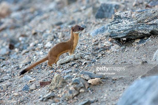 Long Tailed Weasel in Rocky Mountain National Park Colorado