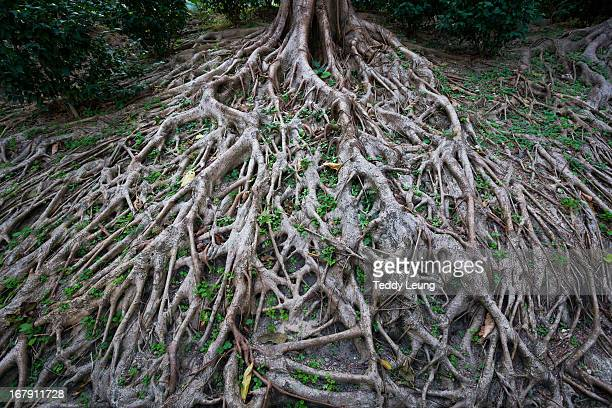 Long tree roots in Hong Kong