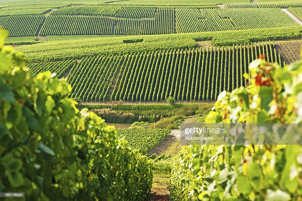 Long view of grape vineyards in Cramant : Stock Photo
