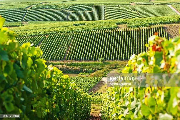 long view of grape vineyards in cramant - chardonnay grape stock photos and pictures