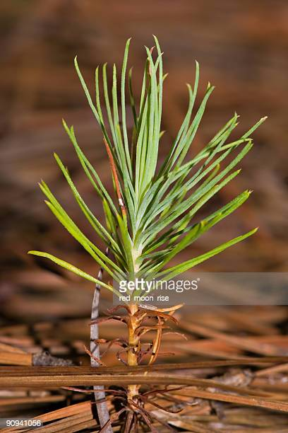 long way to grow. - barrväxter bildbanksfoton och bilder
