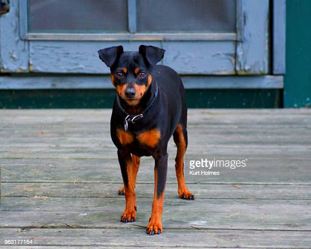 long weekend at the cottage - pinscher nano foto e immagini stock