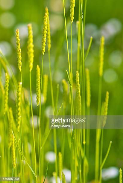 long wild grasses with seedheads - kathy self fotografías e imágenes de stock