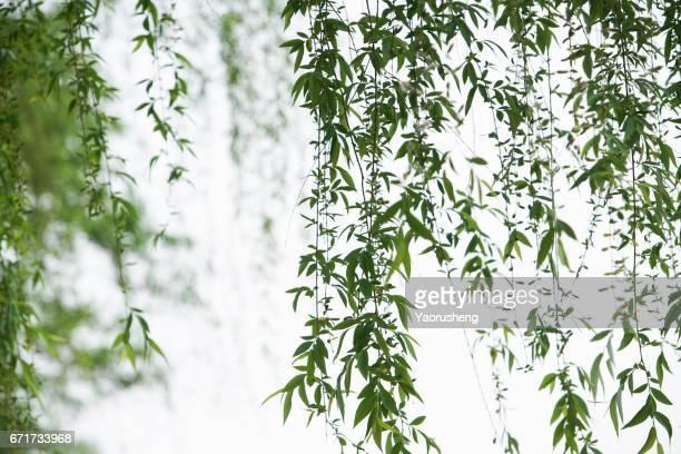 long willow branch in spring season