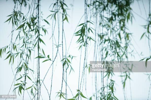 long willow branch in spring season - salgueiro - fotografias e filmes do acervo