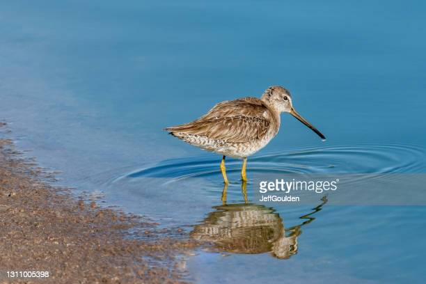 long-billed dowitcher probing in the mud - jeff goulden stock pictures, royalty-free photos & images