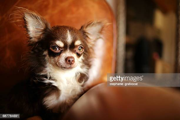 Longcoat Chihuahua dog sitting in an armchair