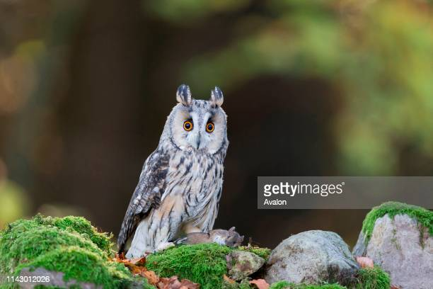 Longeared Owl adult perched on stone wall with Wood Mouse adult prey Peak District Cumbria England UK November controlled subject