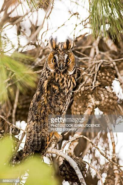 long-eared owl asio otus - photostock stock pictures, royalty-free photos & images