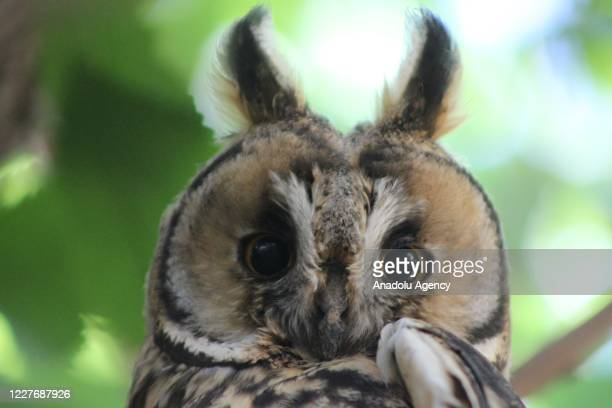 Long-eared owl, one of the species endangered and threatened with extinction, perches on a branch of a tree at Bilge neighbourhood in Suruc district...