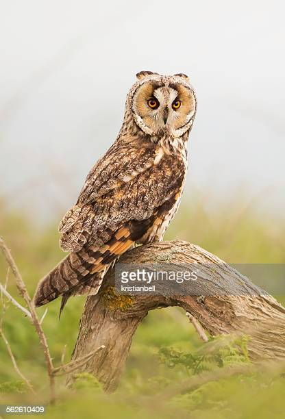 long eared owl stock photos and pictures getty images