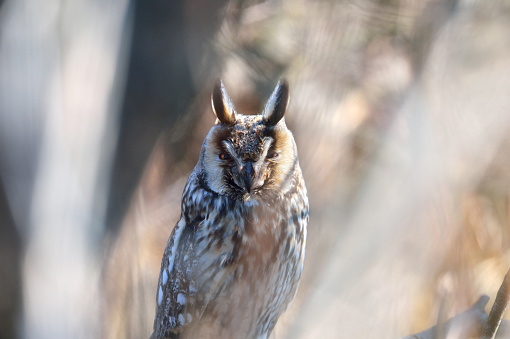 A Long-eared Owl - gettyimageskorea