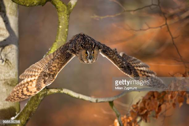 long-eared owl - eastern diamondback rattlesnake stock pictures, royalty-free photos & images