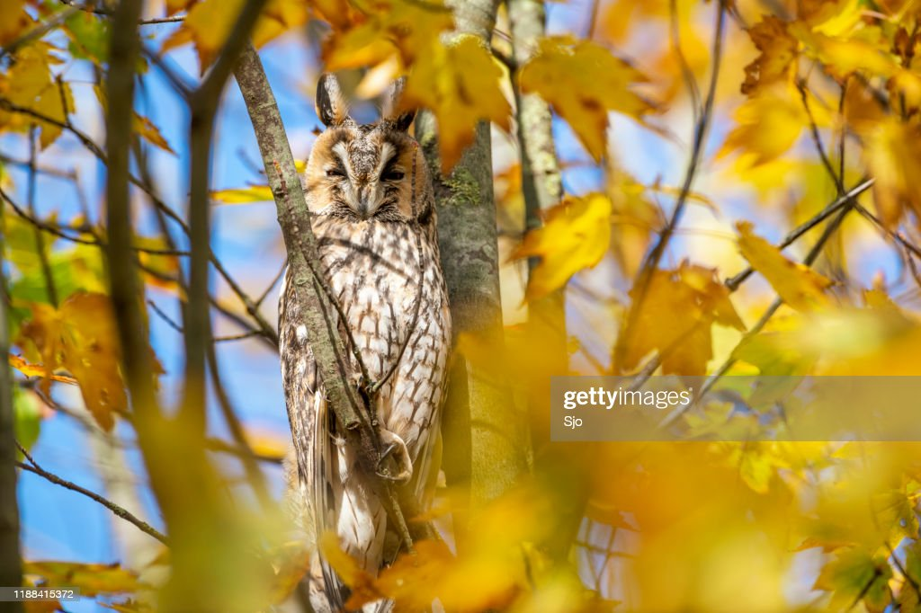 Long-eared owl (Asio otus) sitting high up in a tree with yellow colored leafs during a fall day. : Stock Photo