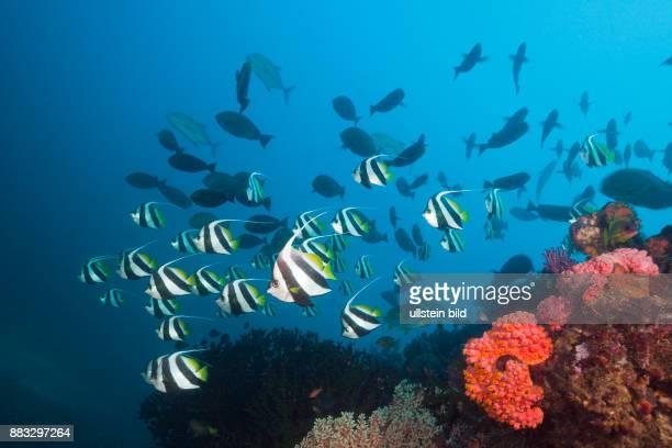 Longfin Bannerfish over Coral Reef Heniochus acuminatus Triton Bay West Papua Indonesia