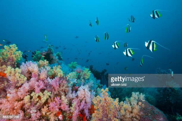 Longfin Bannerfish over Soft Coral Reef Heniochus acuminatus Triton Bay West Papua Indonesia