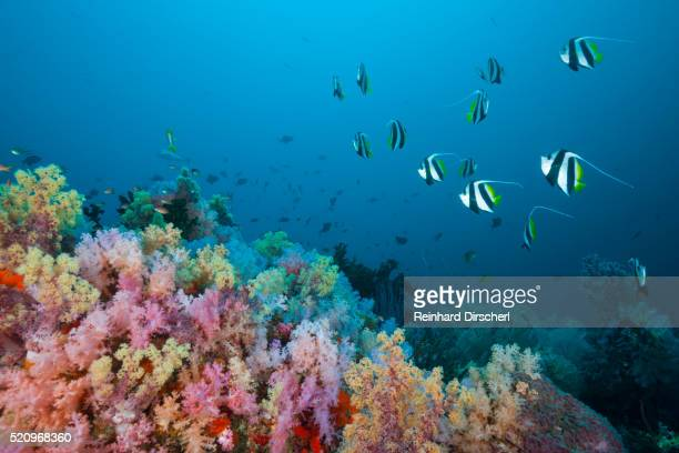 Longfin Bannerfish over Soft Coral Reef, Indonesia