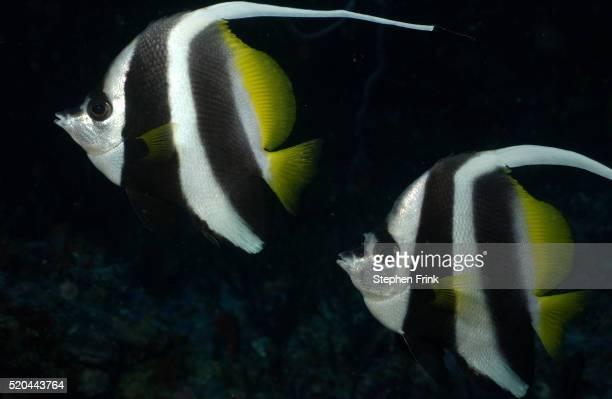 Longfin Bannerfish Pair