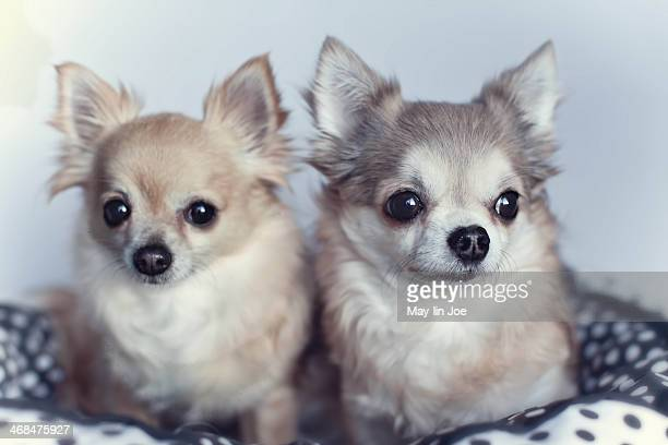 longhair chihuahuas - long haired chihuahua stock photos and pictures