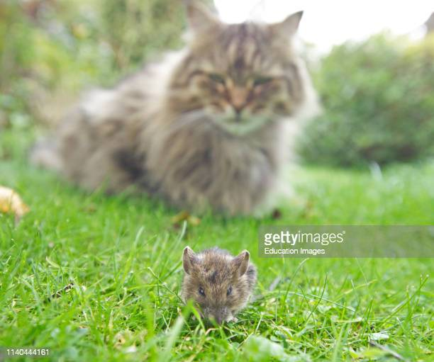 Longhair Domestic tabby cat and House Mouse