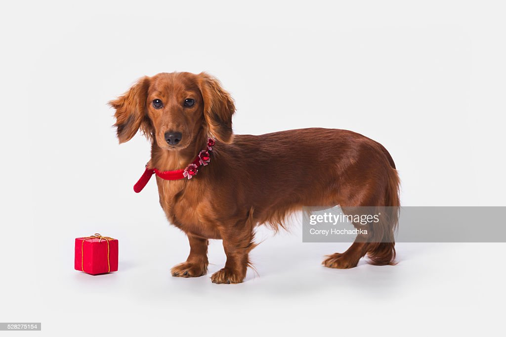 A longhair red dachshund with a small red box at christmas; st. alberta alberta canada : Stock Photo