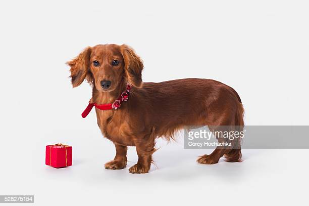a longhair red dachshund with a small red box at christmas; st. alberta alberta canada - dachshund holiday stock pictures, royalty-free photos & images