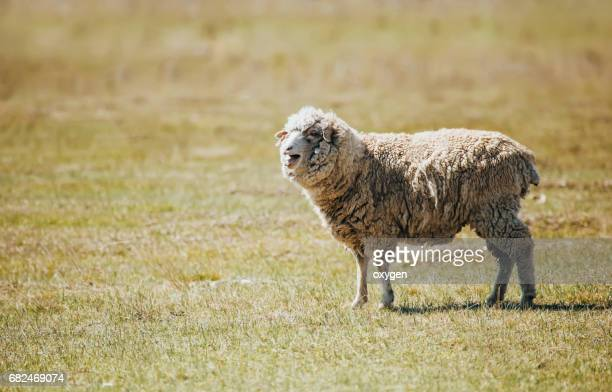 Long-haired bleating sheep in a field