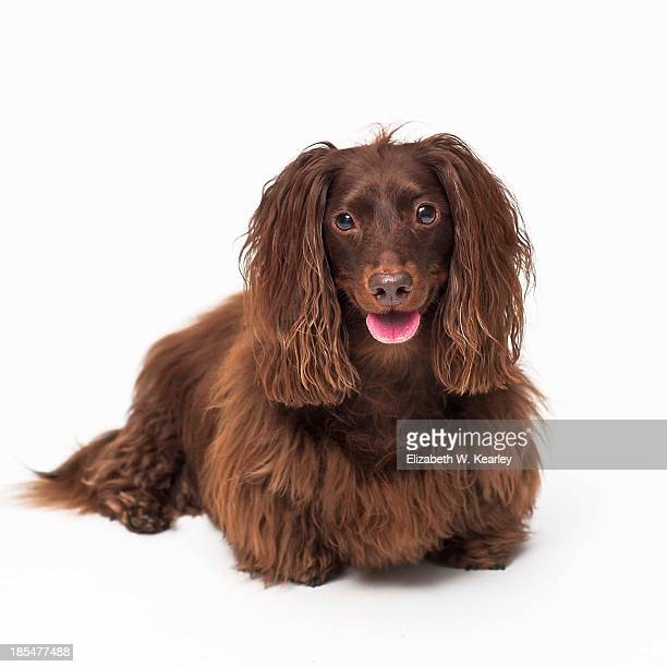 Long Haired Dachshund Stock Photos And Pictures Getty Images