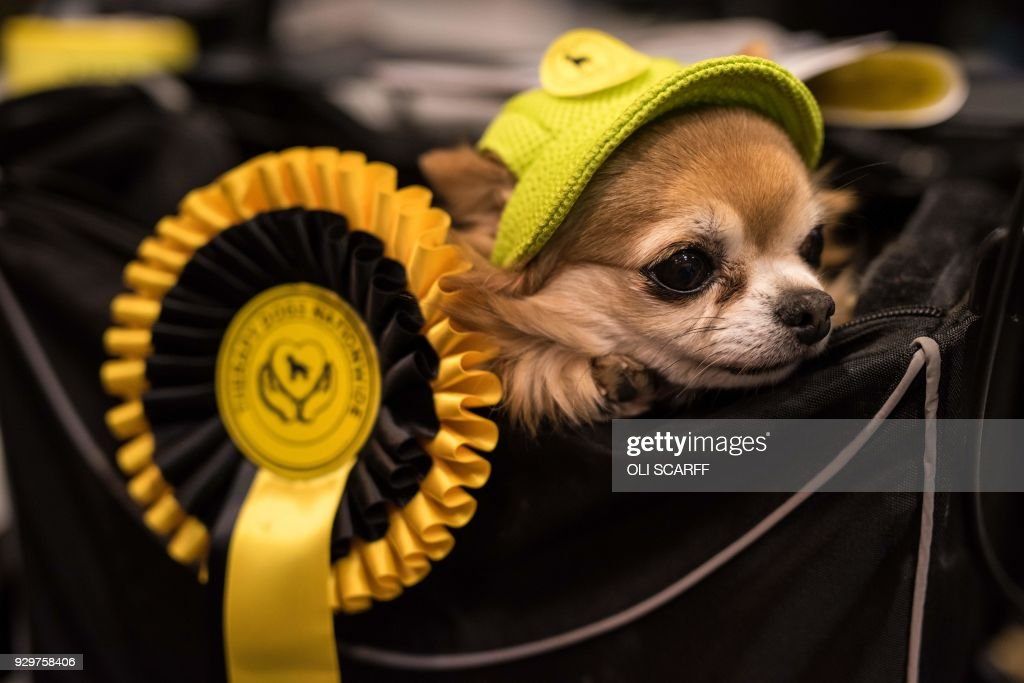 A Long-haired Chihuahua dog wearing a hat is carried in a basket on the second day of the Crufts dog show at the National Exhibition Centre in Birmingham, central England, on March 9, 2018. /