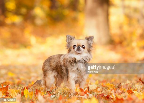 long-haired chihuahua in autumn leaves - long haired chihuahua stock photos and pictures
