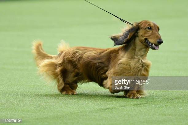 Longhaired Dachshund 'Burns' competes in Best in Show at the 143rd Westminster Kennel Club Dog Show at Madison Square Garden on February 12 2019 in...