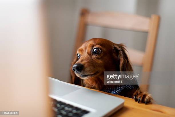Long-haired dachshund looking at laptop