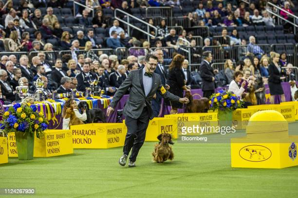 A Longhaired Dachshund named Burns competes in Best in Hound Group at the 143rd Westminster Kennel Club Dog Show in New York US on Monday Feb 11 2019...