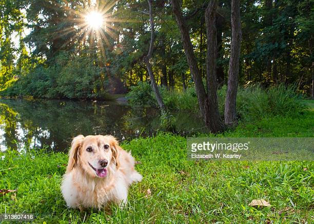 longhaired dachshund near lake - long haired dachshund stock photos and pictures
