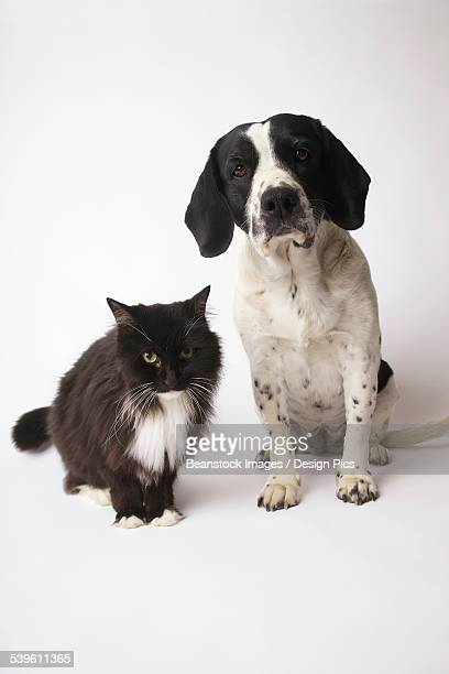 Long-Haired Domestic Cat And Springer Spaniel Mix Dog
