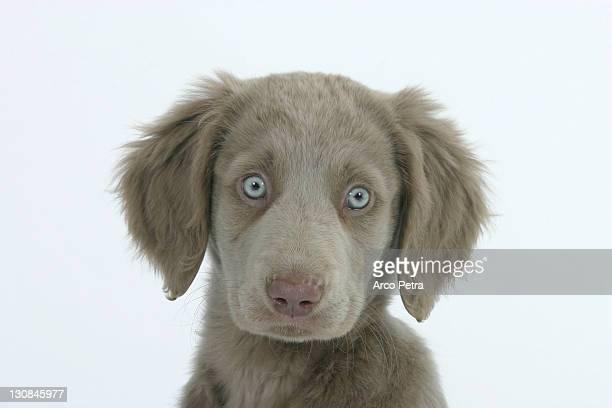 Long-haired Weimaraner, puppy, 10 weeks