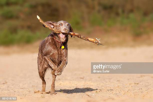 Long-haired Weimaraner with a stick!