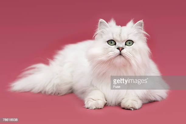 long-haired white cat - persian cat stock pictures, royalty-free photos & images
