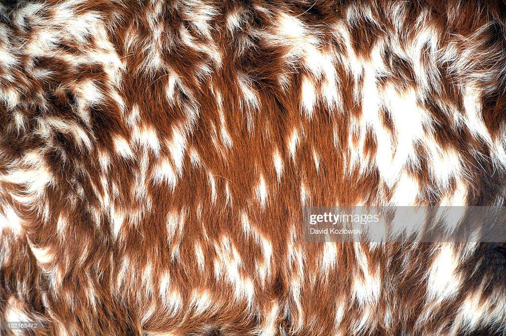 Longhorn Cattle Fur Hair Designs Patterns Cow Hide : Stock Photo