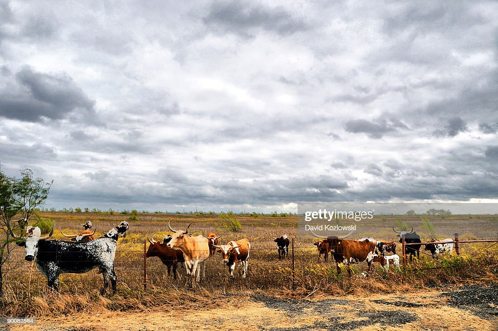 Longhorn Cattle Herd Venus Texas : Stock Photo