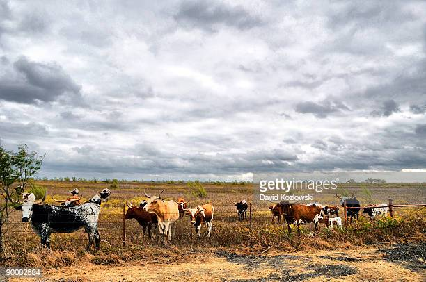 longhorn cattle herd venus texas - texas longhorn cattle stock photos and pictures